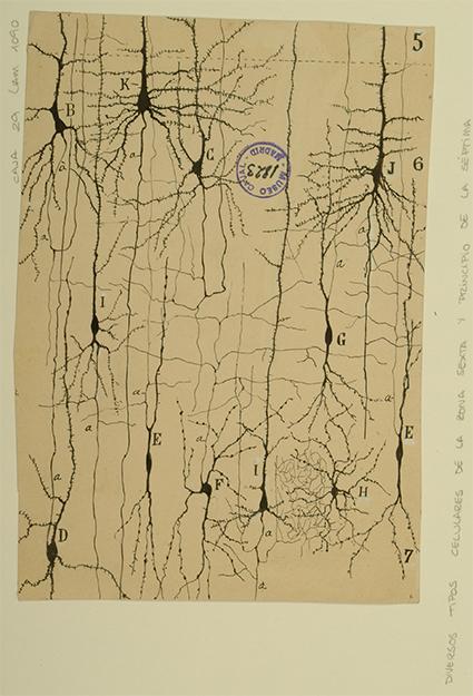 Dibujo científico de Santiago Ramón y Cajal, tipos celulares de la zona 6ª y principio de la 7ª. Cortesía del Instituto Cajal, Legado Cajal_Consejo Superior de Investigaciones Científicas (CSIC)_MADRID.